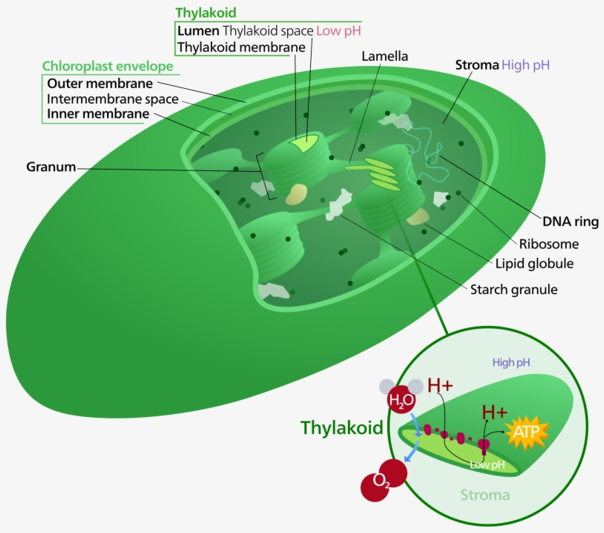 Plant cell chloroplast structure.