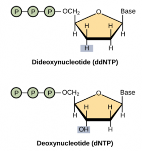 The structure of ddNTP and dNTP.