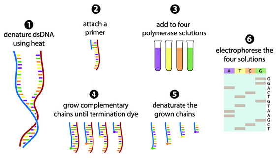 The Sanger sequencing method in 6 steps