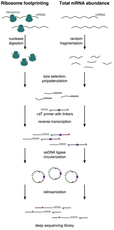 The experimental workflow of ribosome profiling (Ribo-seq).